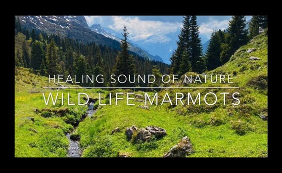 TRIP Mountain, MARMOTS, cows, birds -Best Places to visit, Switzerland...